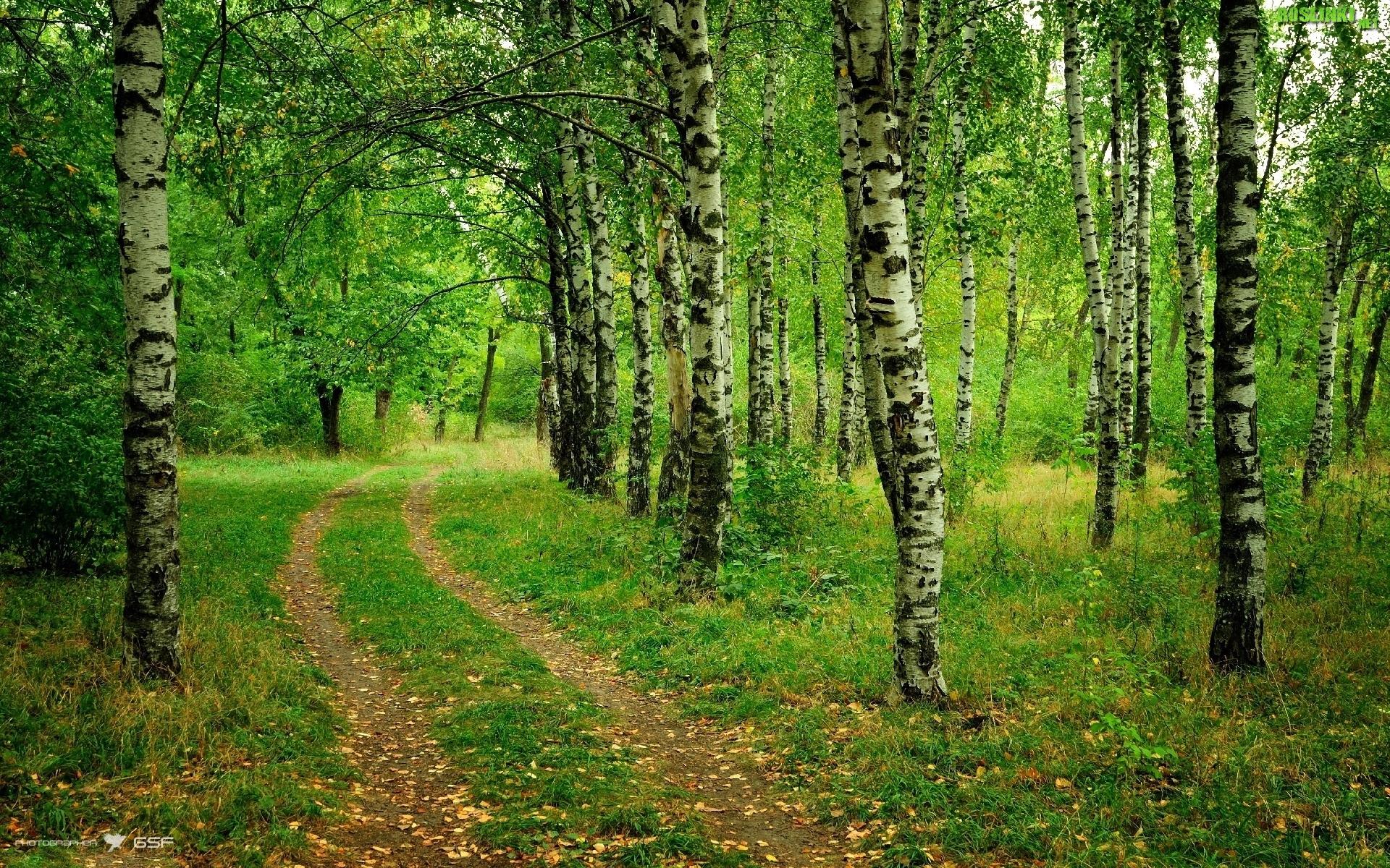 Rośliny las brzozy droga