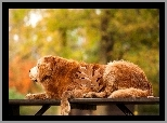 Golden, Retriever, Park, Ławka, Liść