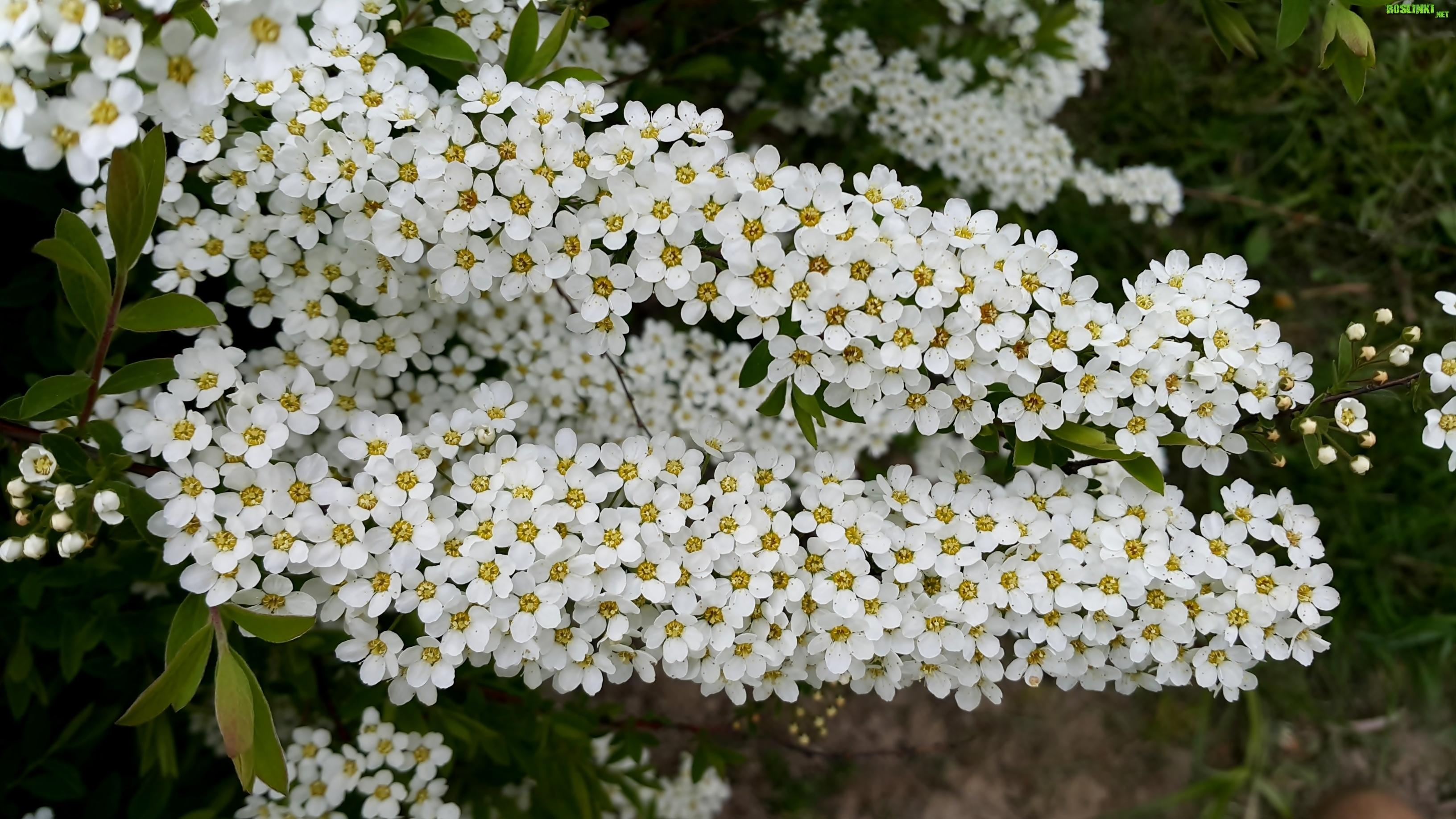 Galazki Krzewu Biale Kwiaty Tawula Japonska